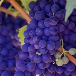 Identificados compuestos beneficiosos para la salud en el vino